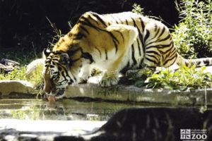 tiger-amur-siberian-cleveland-ohio-zoo