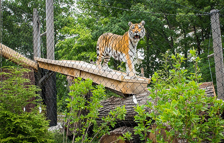 Zoo - Rosebrough Tiger Passage Tiger- Panzica Construction